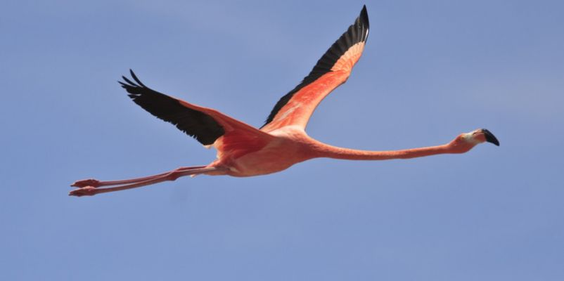 Greater Flamingo in Bonaire