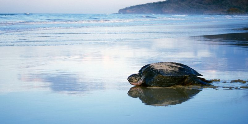 Leatherback turtle, Costa Rica