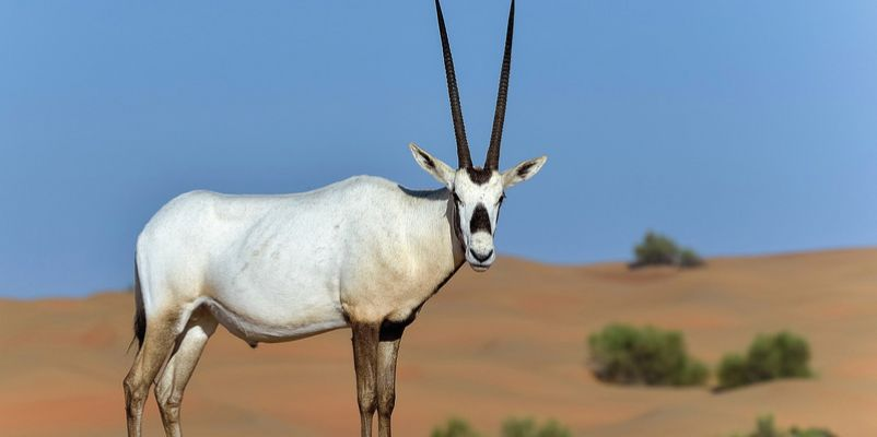 Arabian Oryx, UAE