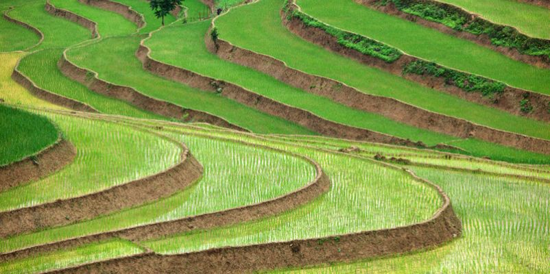 Rice plantation, Vietnam