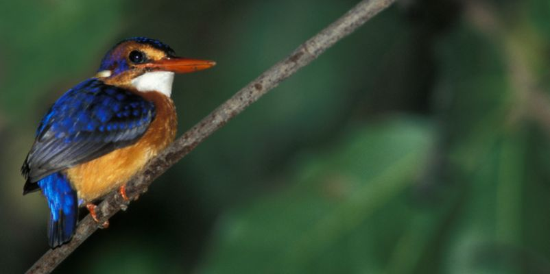 African Pygmy Kingfisher, Gambia