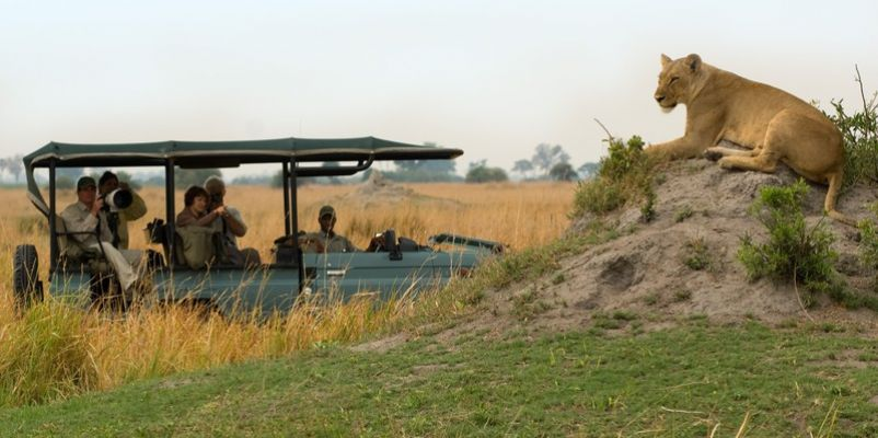 Lion on safari, Selinda Camp, Botswana
