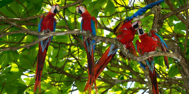Scarlet Macaws in Almond tree - Corcovado National Park - Cosat Rica