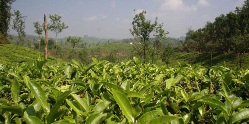 Tea Plantation in Wayanard, India