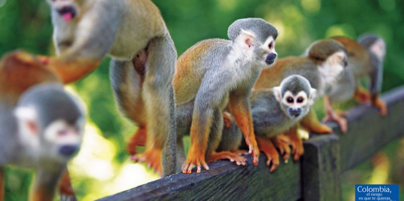 Squirrel Monkeys - Colombia