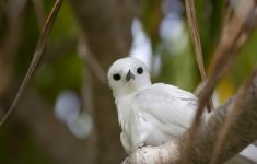 Fairy or white tern, Henderson Island, Pitcairn Islands, South Pacific