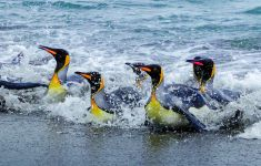 Penguins surfing