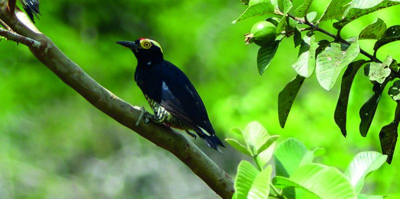 The yellow-tufted woodpecker