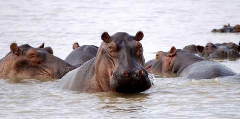 Hippos at Selous Game Reserve