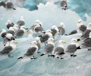 Black Legged Kittiwakes
