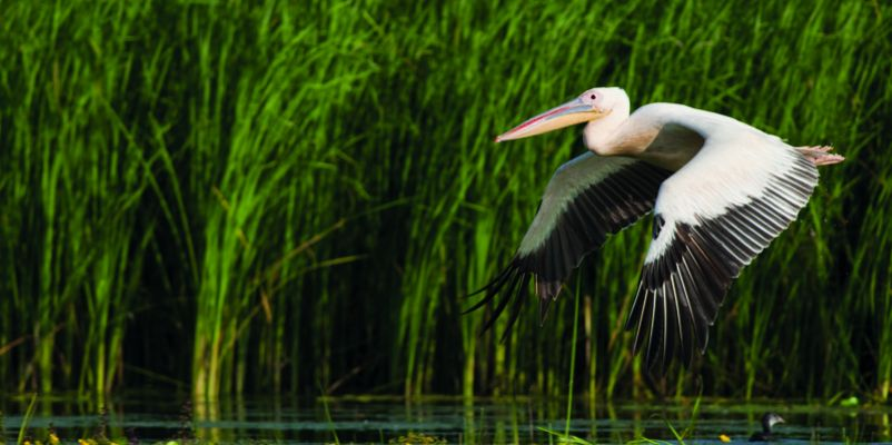 Pelican Flying, Danube Delta