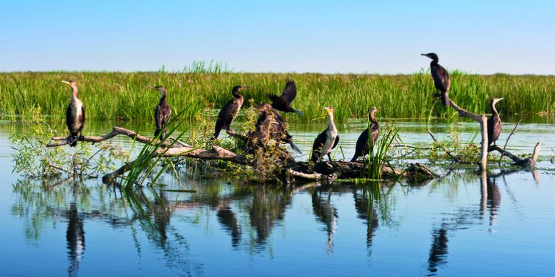 Great Black Cormorants, Danube Delta