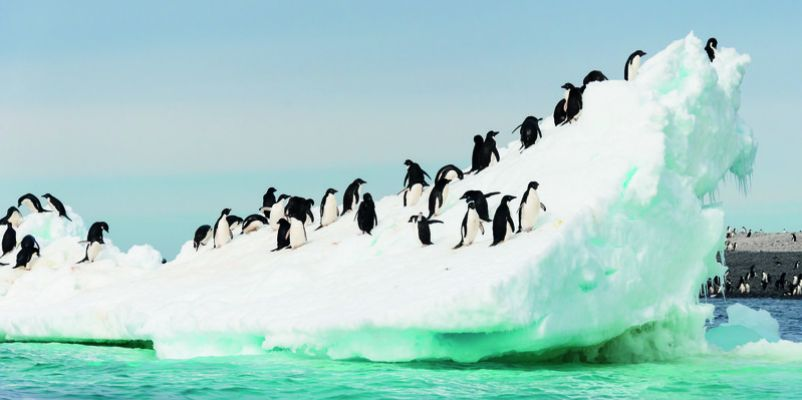 Adelie penguins colony