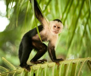 Capuchin monkey, Manuel Antonio National Park