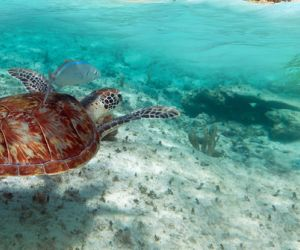 Turtle, Caribbean Sea