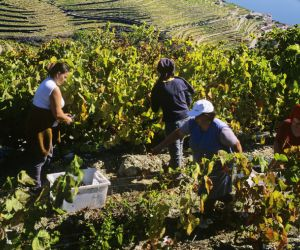 Grape harvest on the Douro