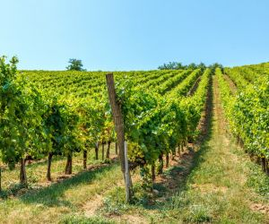 Vineyards of Villany