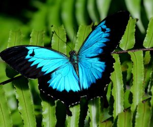 Ulysses butterfly, Dunk Island