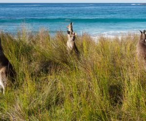 Kangaroos, Batemans Bay