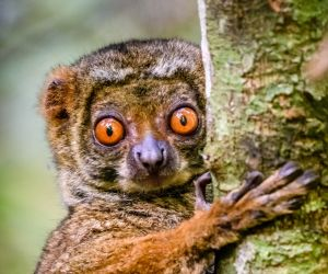 Woolly lemur