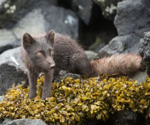 Arctic fox, Kuril islands