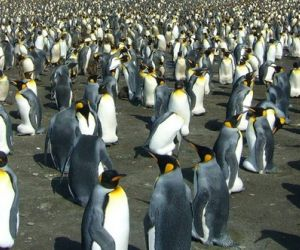 King penguin colony, South Georgia