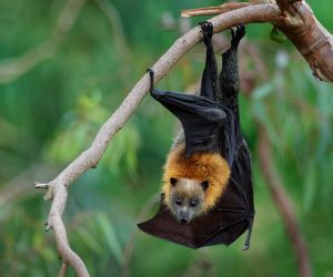 Flying fox, King George River