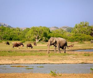 Elephant and Water Buffalo, Yala National Park