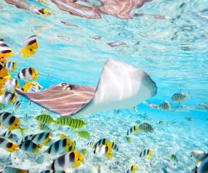 Butterfly fish and Stingray