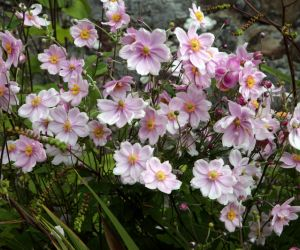 Japanese anemones in Salthill Gardens