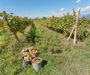 Vineyards of the Kakheti region