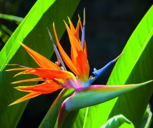 Bird of paradise flower, Madeira