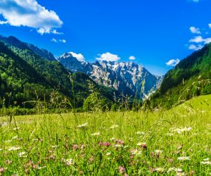 Wild flowers in the Logarska Valley meadows