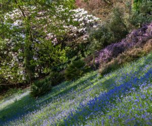 Bluebells in Spring, Cornwall