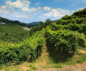 Vineyards of the Prosecco region