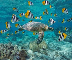 Turtle and butterfly fish