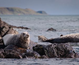 Atlantic Grey Seal, North Rona