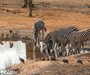Yellow Baboons, Zebra and Guinea Fowl sharing a waterhole in Majete Wildlife Reserve