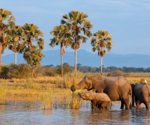 Elephants bathing in the Shire River, Liwonde National Park