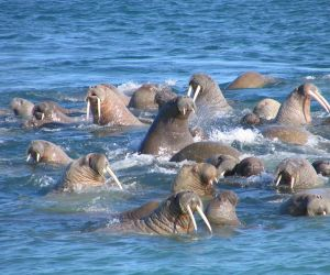 Walrus in Franz Josef Land