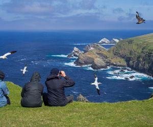 Gannets and Great Skua, Hermaness Nature Reserve, Unst